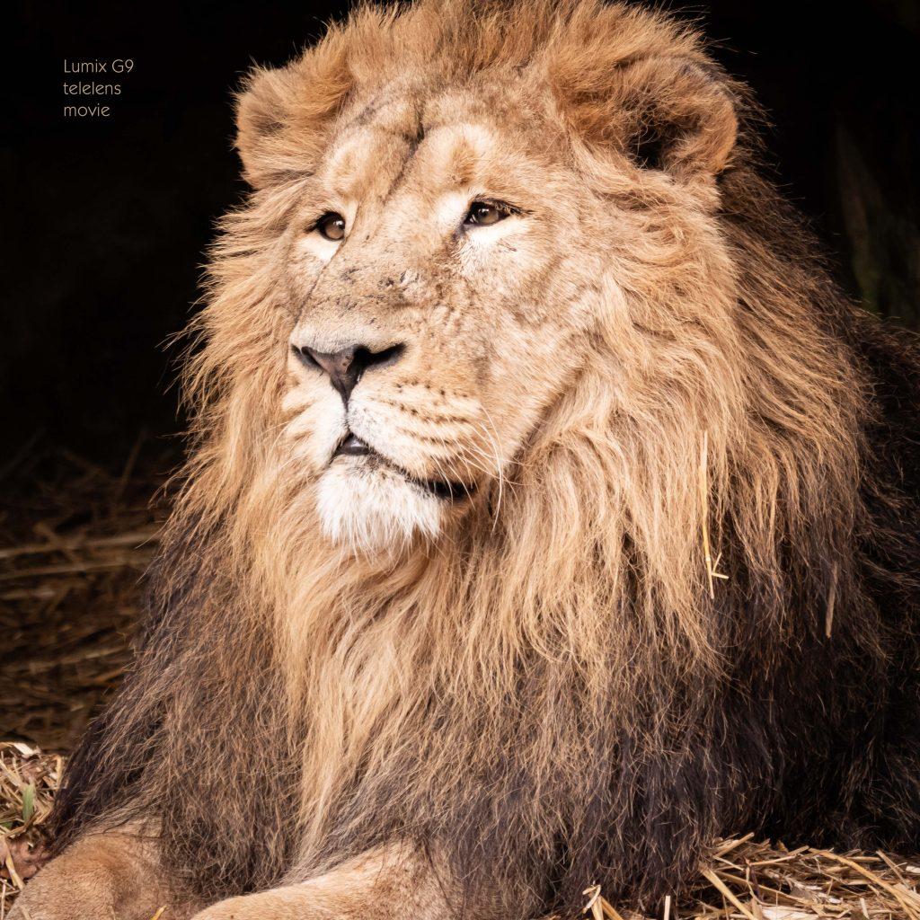 de leeuw van Planckendael speelt een rol in de video waarin we de telelenzen van Lumix en Leica van dichterbij bekijken.